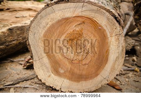 Tree That Was Being Cut.