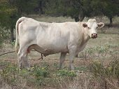 White cow looking at camera. poster