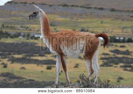 Guanaco in Chilean Patagonia