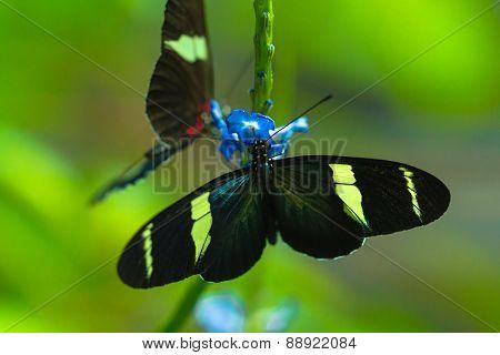 Sara longwing and Postman butterflies