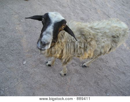Strange Sheep From Africa