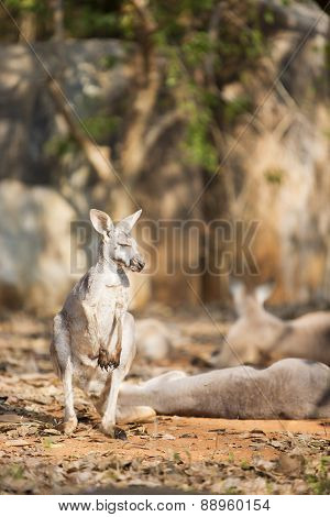 Grey white Kangaroo.