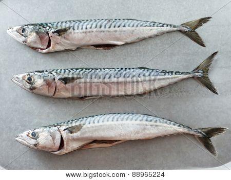 Fresh mackerel fishes