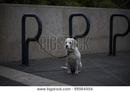 Lonely Dog Waiting