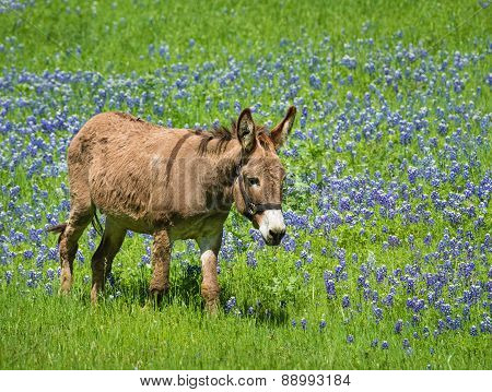 Donkey Grazing On Texas Bluebonnet Pasture
