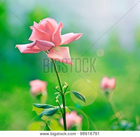 Nice rouse flowers in sunny garden