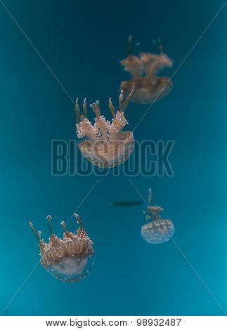 Spotted lagoon jelly, golden medusa, Mastigias papua, is from the Indo-Pacific. This jellyfish has several mouths found on their arms, which they use to feed on zooplankton. poster