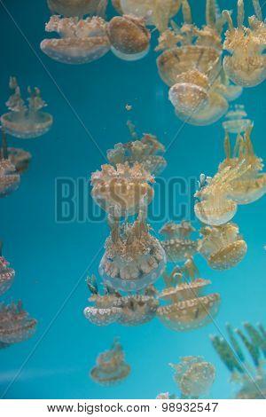 Spotted lagoon jelly, golden medusa, Mastigias papua