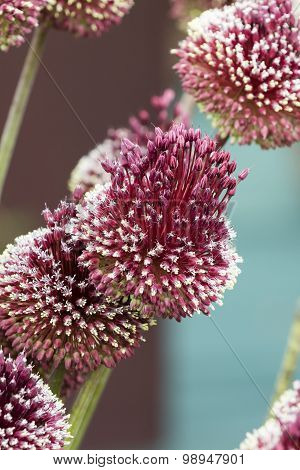 Allium Mohican