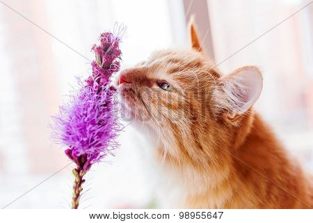Ginger Cat Smells A Bright Lilac Flower. Cozy Spring Morning At Home.