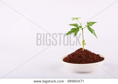 New life -Sprouting neem