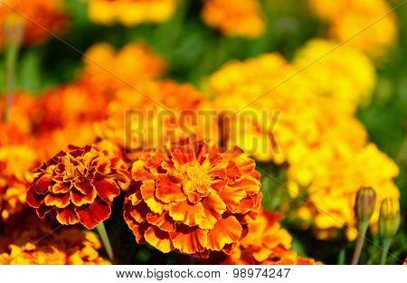Marigold flower on sunny day