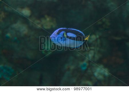 Palette tang fish, Paracanthurus hepatus, is also called the royal blue tang poster