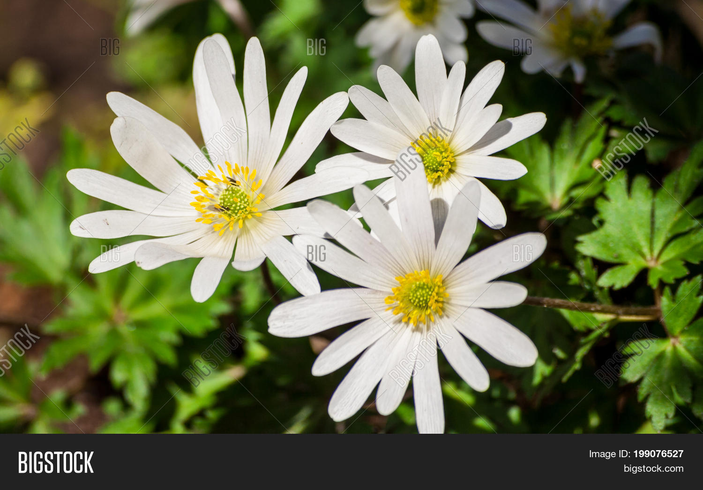 Anemone Blanda White Image Photo Free Trial Bigstock