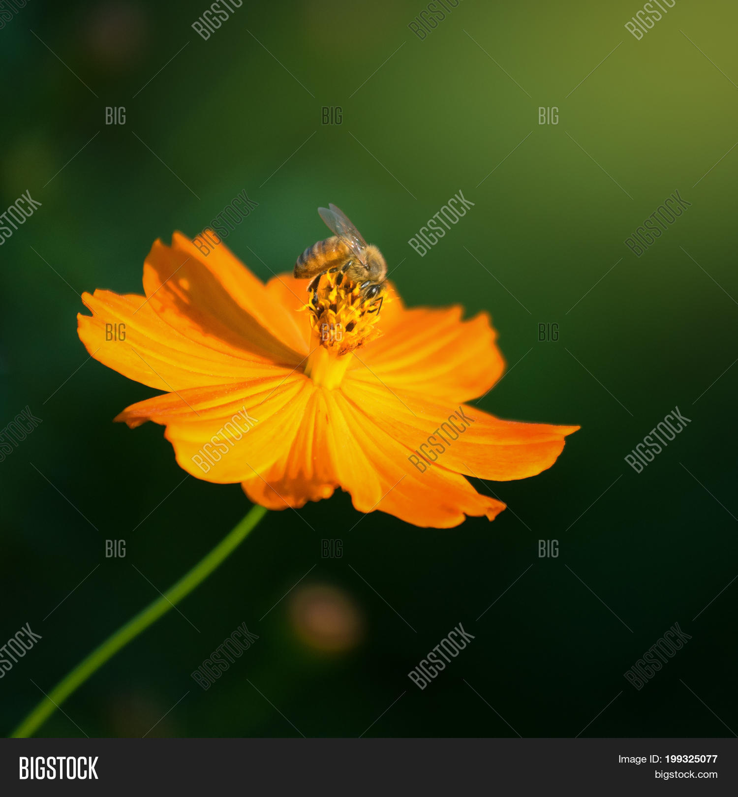 Beautiful yellow image photo free trial bigstock beautiful yellow cosmos flower yellow flower of mexican diasy cosmos spanish needle mightylinksfo