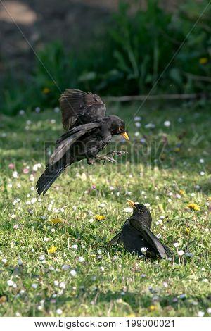 Two black blackbirds fighting on a meadow