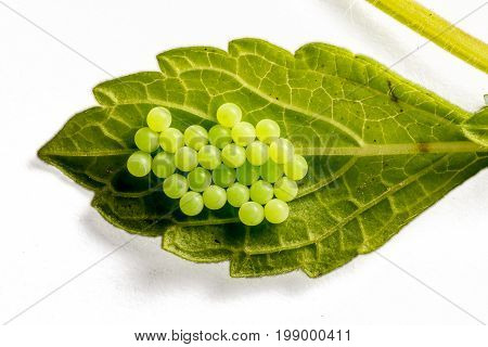 C-Fritter's eggs / eggs at the bottom of a leaf