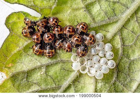 Many slipping ladybug larvae on a leaf