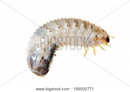 Cockchafer grub just before hatching isolated on white