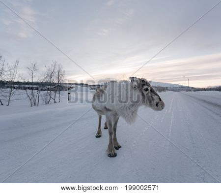 Morning With Close Encounter With Reindeer At Sunrise In Winter