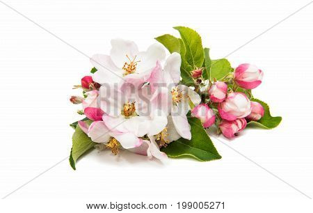 blooming apple flower on a white background
