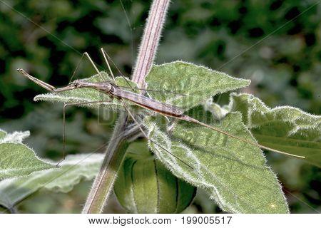 ghosts shrink / Water bug / Stab bug Ranatra linearis sits on a shrub