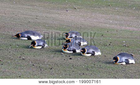 Planking King penguins, aptenodytes patagonicus, Saunders Falkland Islands Malvinas