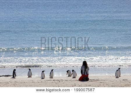 Woman watching the Gentoo penguins, Saunders, Falkland Islands, Malvinas