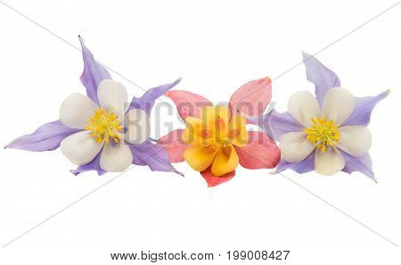 blossom aquilegia flower isolated on white background