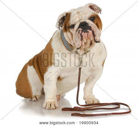 dog on a leash - english bulldog sitting wearing leash and collar