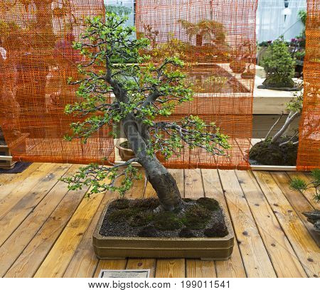 Apple Tree - Bonsai In The Style Of
