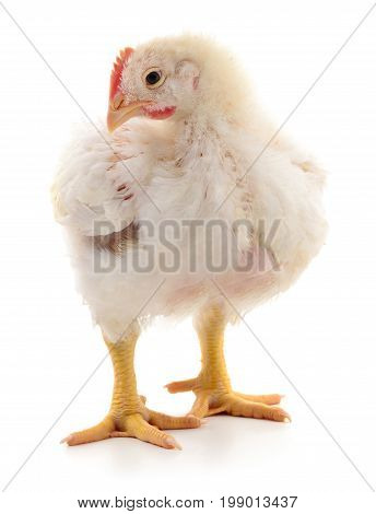 A chicken stands on a white background.