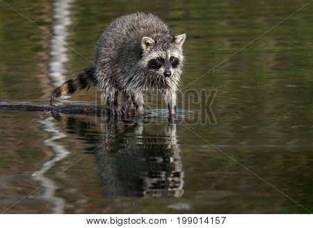 Raccoon (Procyon lotor) Stands With paws in Water - captive animal