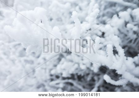 Bush Branches Covered With Show And Frost