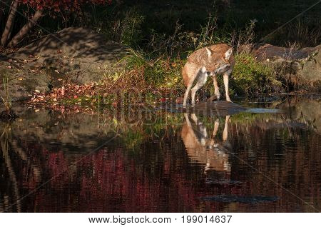 Coyote (Canis latrans) Turns on Rock - captive animal