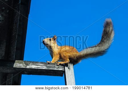 Squirrel sits on wooden stick against blue sky background