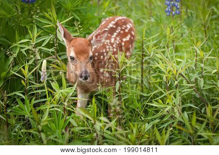 White-Tailed Deer Fawn (Odocoileus virginianus) Ear Back - captive animal