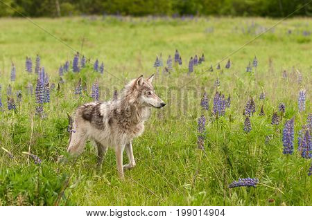 Grey Wolf (Canis lupus) Stands in Field Paw Up - captive animal