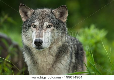 Grey Wolf (Canis lupus) Looks Out Head - captive animal