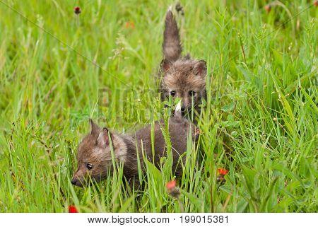 Red Fox (Vulpes vulpes) Kits in Grass - captive animals