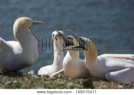 Two families of northern gannet are fighting for the nest on the island of Helgoland, Germany