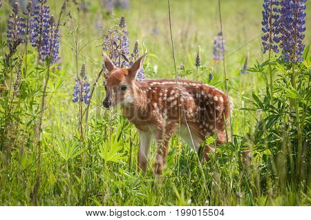 White-Tailed Deer Fawn (Odocoileus virginianus) Facing Left - captive animal