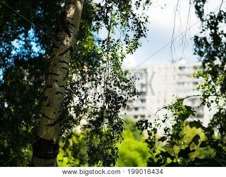 Left aligned birch far city landscape background hd