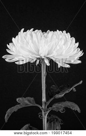 Black and white cremone chrysanthemum flower leaves and stem on dark background with grain.