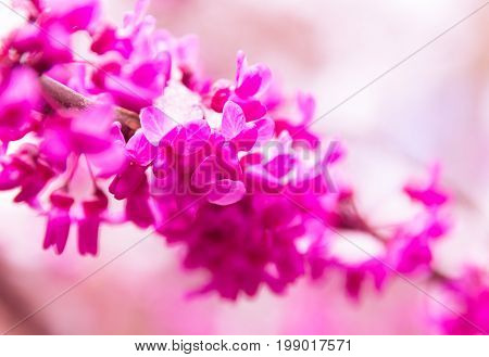 Close up of late spring snow on vibrant pink redbud tree blooms with selective focus.
