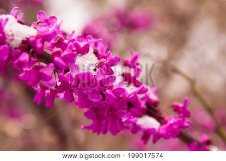Late spring snow on vibrant pink redbud tree blooms.