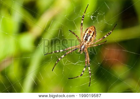 Wasp spider Argiope bruennichi. orb-web Insect with yellow stripes, web pattern. green grass background, macro view, horizontal soft focus.