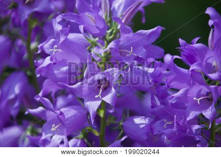 Flowers decorative bell. Blooming perennial Campanula Packed. Corolla the petals the pistil and the leaves of the plant during the growing season