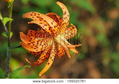 Chalmovidnaya Orange Flower Terry Hybrid Tiger Lily Flore Pleno. Bright Red Flower With Black Specks