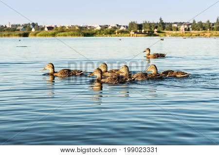 A group of wild ducks swims along a blue pond a selective focus in the distance a shoreline with trees and houses
